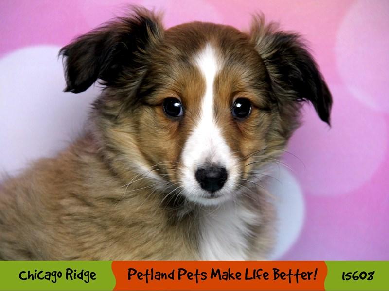 Shetland Sheepdog-Female-Sable / White-2884362-Petland Chicago Ridge