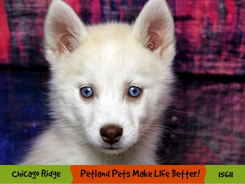 Pomsky-Male-Cream and White-2884585-Petland Chicago Ridge