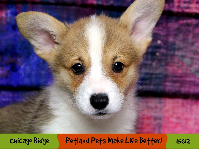 Pembroke Welsh Corgi-Male-Sable and White-2884603-Petland Chicago Ridge