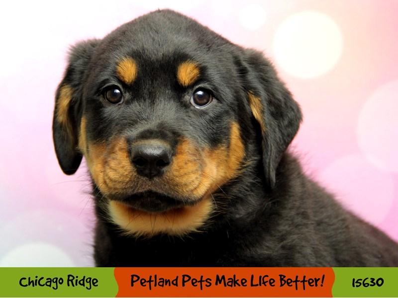 Rottweiler-Male-Black / Mahogany-2891449-Petland Chicago Ridge