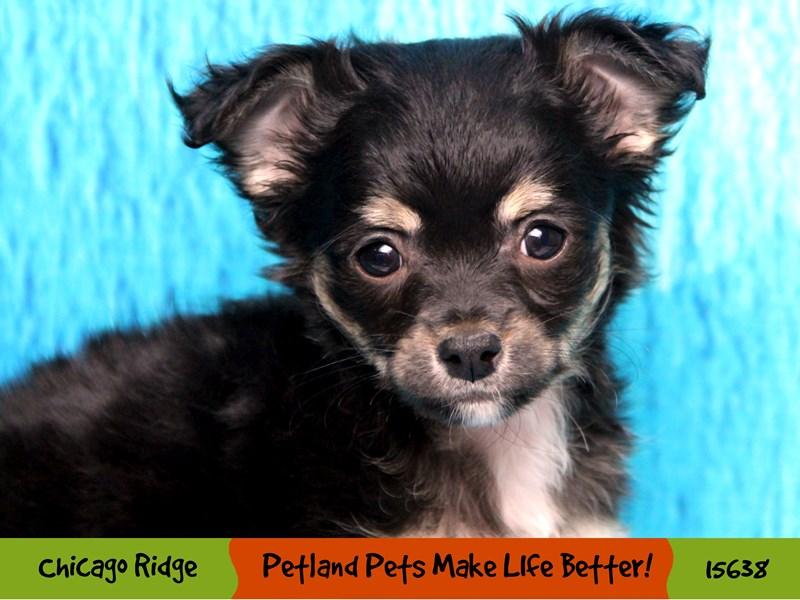 Chihuahua-Female-Black / Tan-2892526-Petland Chicago Ridge