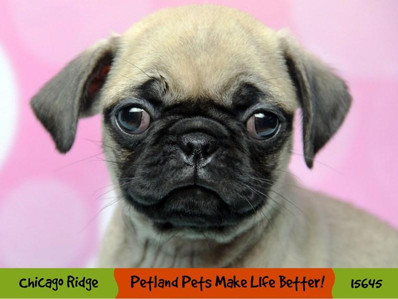 Pug-Female-Fawn-2897571-Petland Chicago Ridge