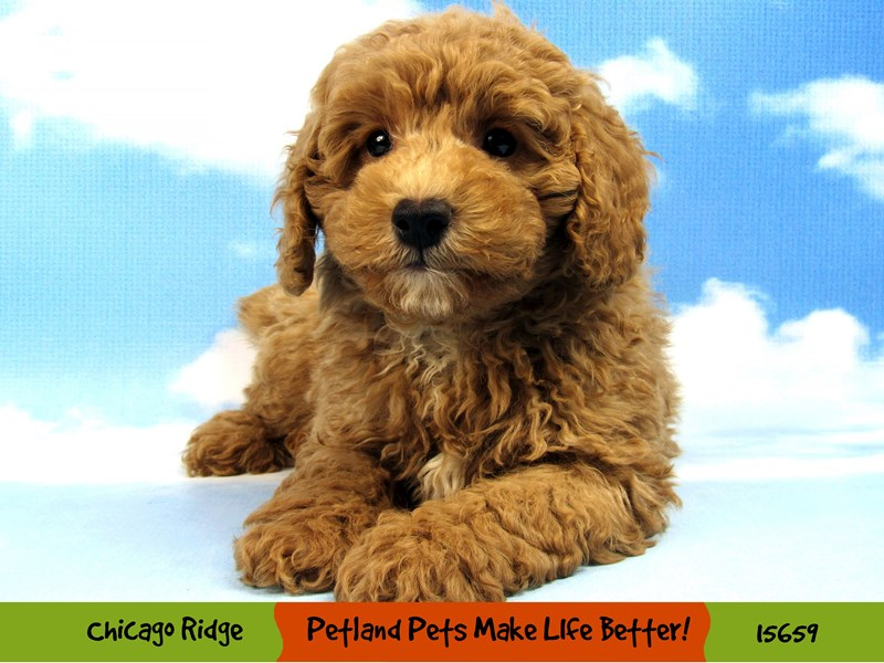 Poodle-Male-Apricot-2856459-Petland Chicago Ridge