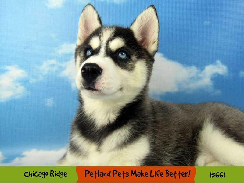 Siberian Husky-Female-Black and White-2855916-Petland Chicago Ridge