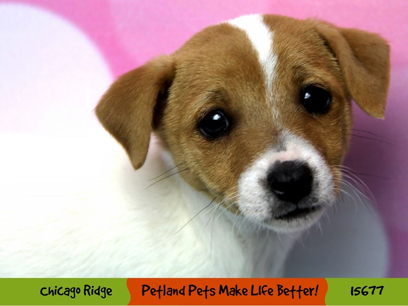 Jack Russell Terrier-Male-White-2906961-Petland Chicago Ridge