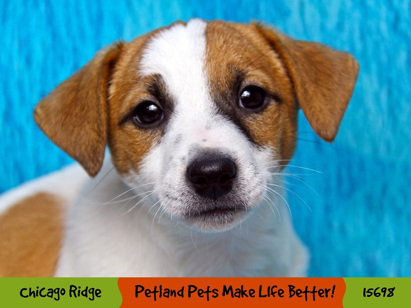 Jack Russell Terrier-Male-White / Red-2913153-Petland Chicago Ridge