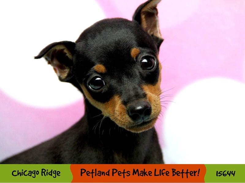 Miniature Pinscher-Female-Black / Rust-2897569-Petland Chicago Ridge