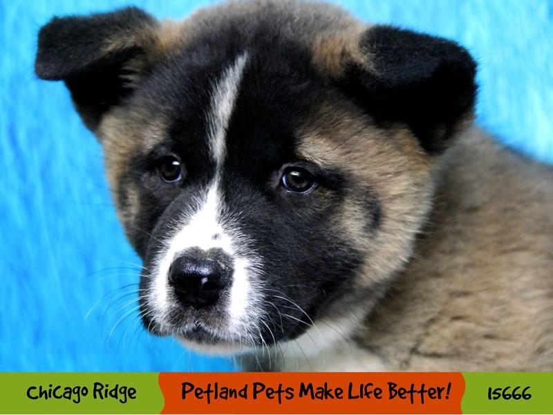 Akita-Female-Brown & White-2905138-Petland Chicago Ridge