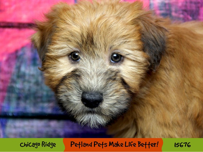 Soft Coated Wheaten Terrier-Female-Wheaten-2906990-Petland Chicago Ridge