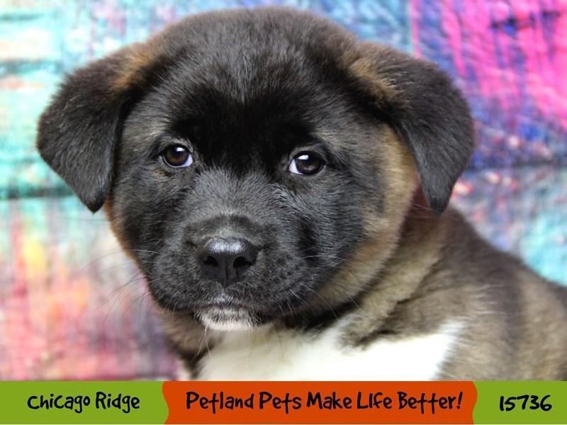 Akita-Male-Brown / White-2926745-Petland Chicago Ridge