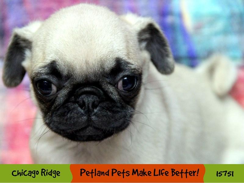Pug-Female-Fawn-2936312-Petland Chicago Ridge
