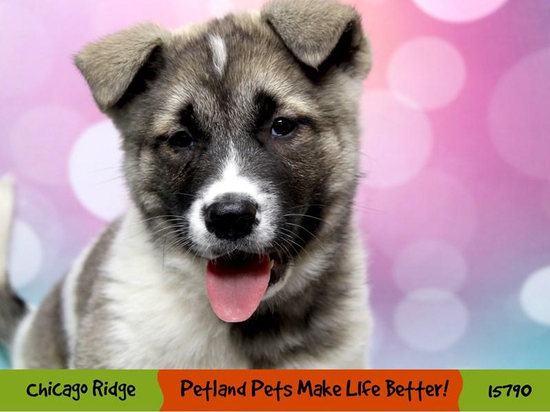 Akita-Female-Pinto-2956699-Petland Chicago Ridge