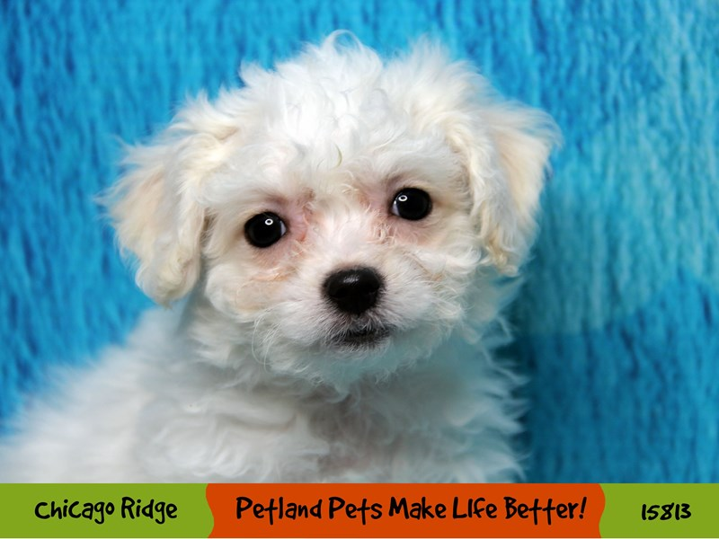 Bichon Frise-Female-White-2967198-Petland Chicago Ridge