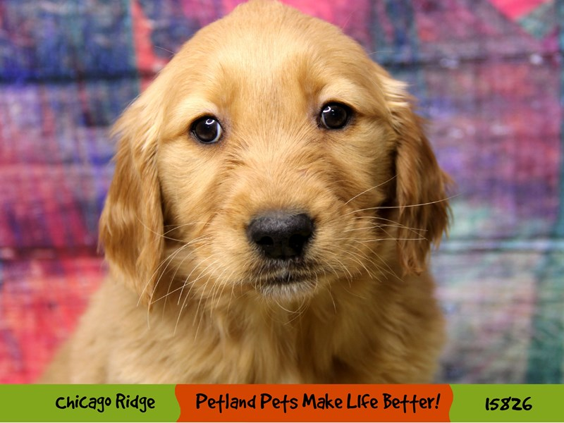 Golden Retriever-Female-Red-2973525-Petland Chicago Ridge