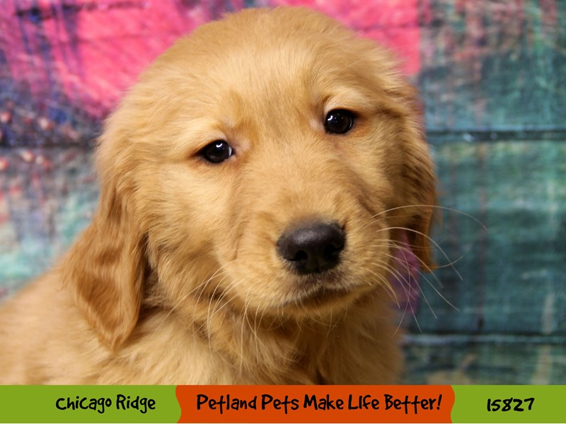 Golden Retriever-Male-Red-2973492-Petland Chicago Ridge