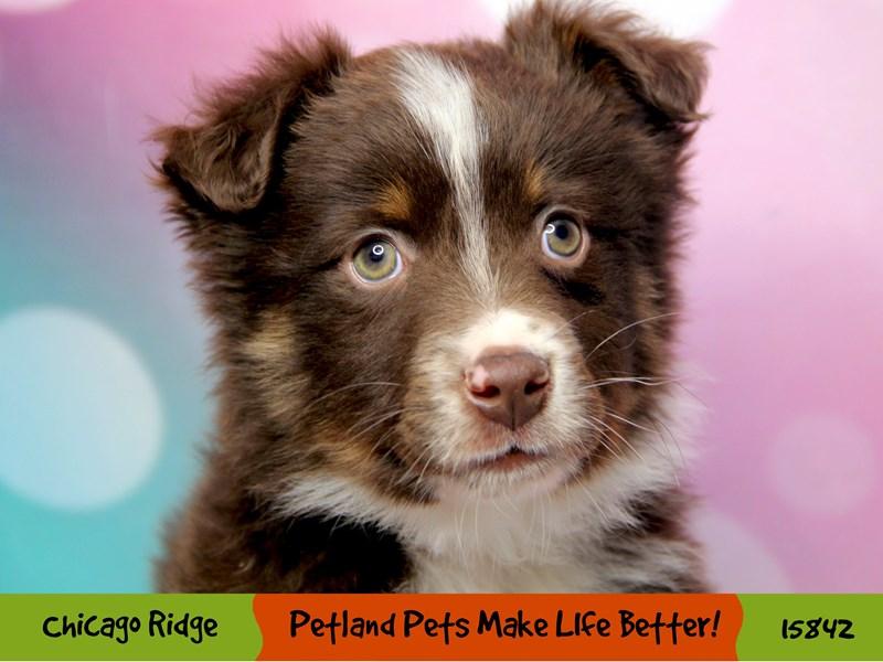 Australian Shepherd-Male-Red & White-2981622-Petland Chicago Ridge