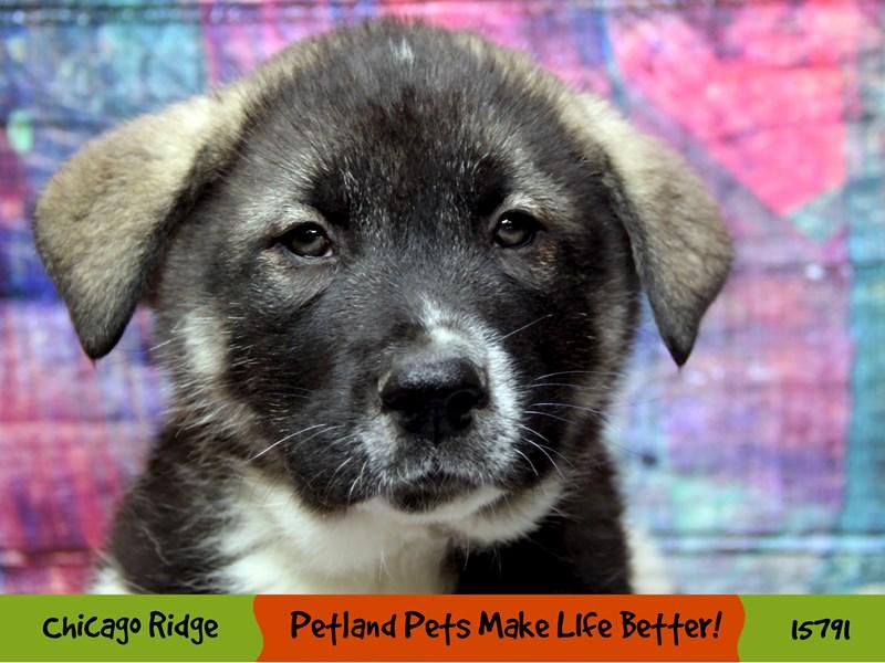 Akita-Male-Pinto-2956700-Petland Chicago Ridge