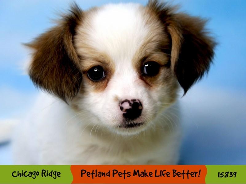 Papillon-Female-White & Fawn-2976178-Petland Chicago Ridge