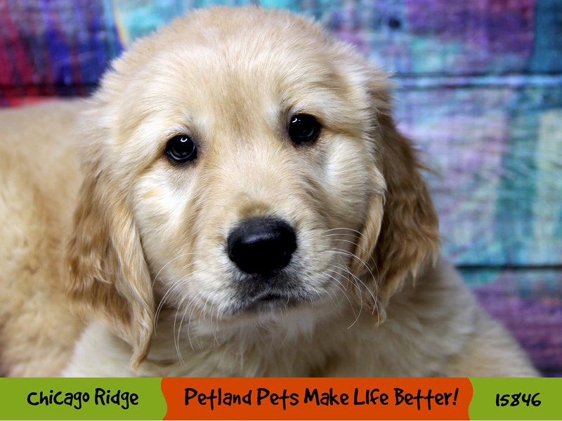 Golden Retriever-Male-Golden-2981652-Petland Chicago Ridge