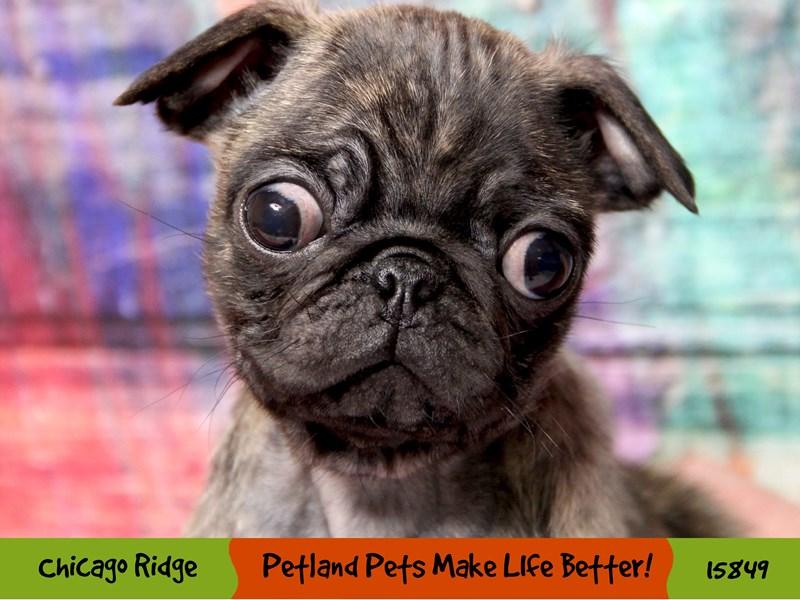 Pug-Male-Brindle-2981643-Petland Chicago Ridge