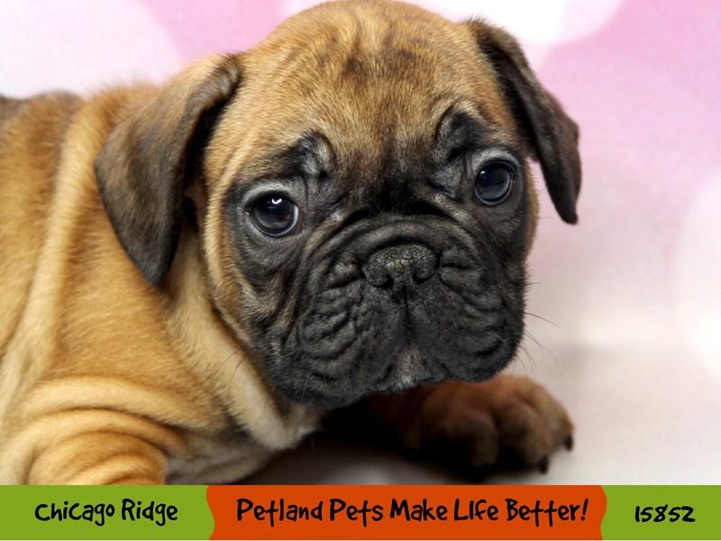 French Bulldog-Male-Fawn-2981705-Petland Chicago Ridge