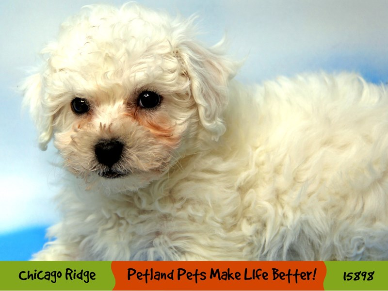 Bichon Frise-Female-White-3000697-Petland Chicago Ridge