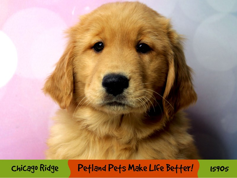 Golden Retriever-Male-Golden-3008119-Petland Chicago Ridge