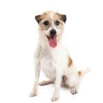Petland Chicago Ridge Jack Russell Terrier