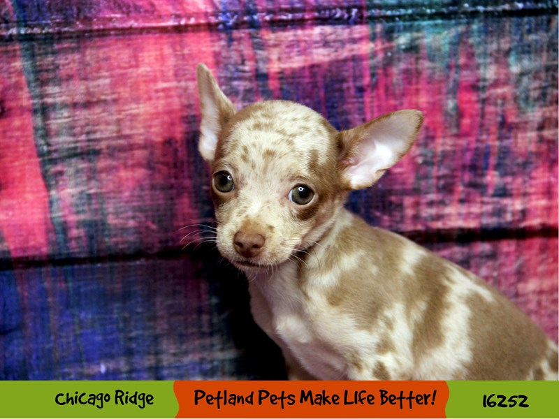 Chihuahua-Female-Chocolate Merle-3182654-Petland Chicago Ridge