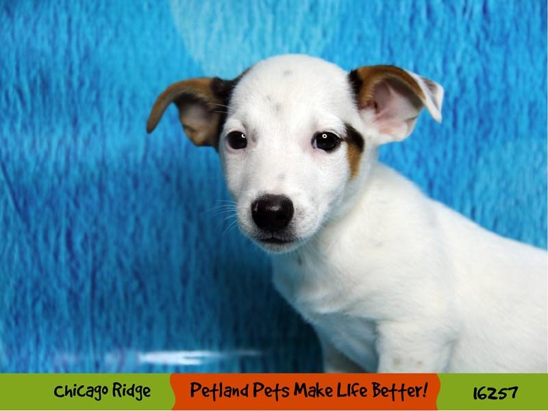 Jack Russell Terrier-Male-White-3182646-Petland Chicago Ridge