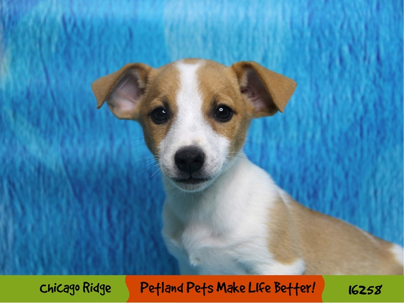 Jack Russell Terrier-Male-Fawn & White-3182649-Petland Chicago Ridge