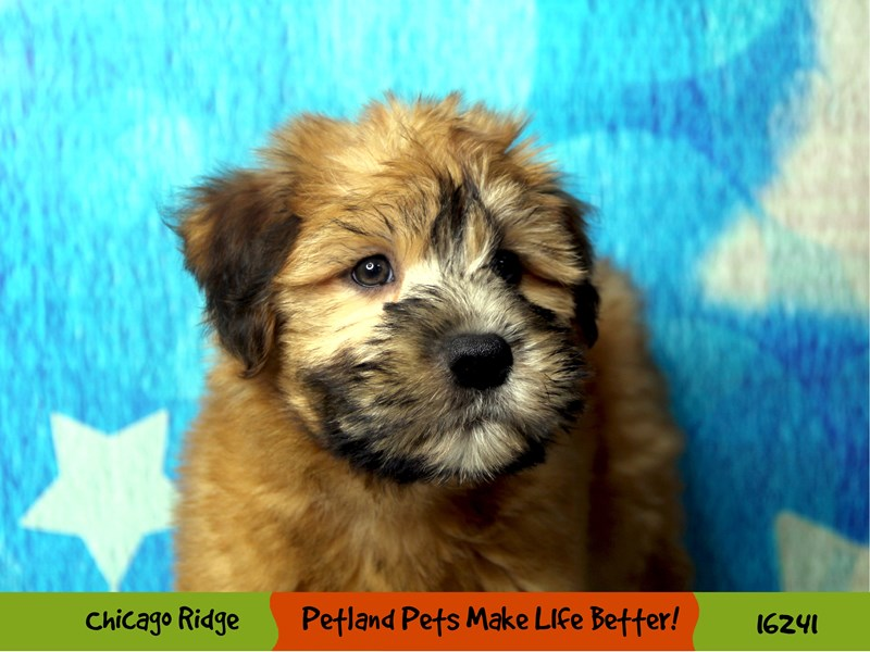 Soft Coated Wheaten Terrier-Female-Wheaten-3175647-Petland Chicago Ridge