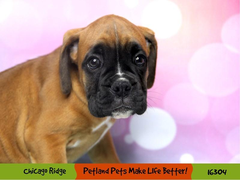 Boxer-Female-Fawn / White-3200949-Petland Chicago Ridge