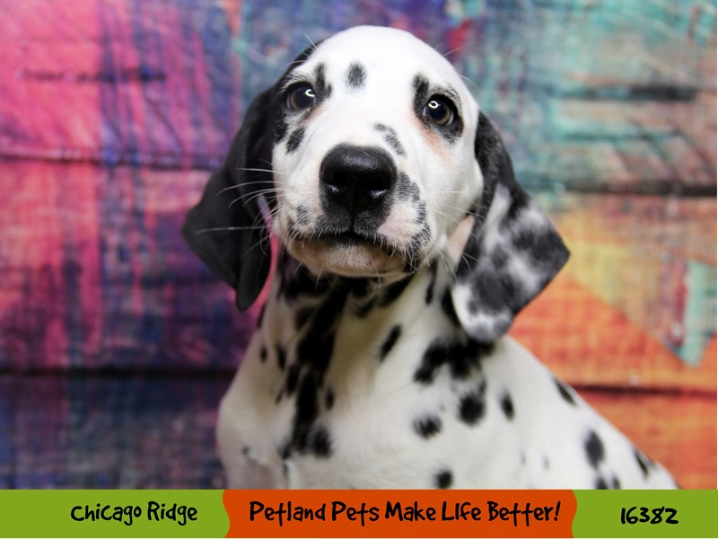 Dalmatian-Male-Black/White-3229897-Petland Chicago Ridge