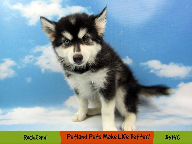 Pomsky-Male-Black / White-3182762-Petland Chicago Ridge