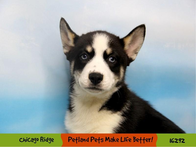 Pomsky-Male-Black & White-3201162-Petland Chicago Ridge