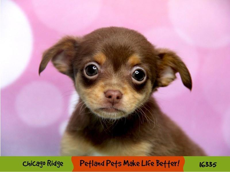 Chihuahua-Female-Chocolate / Tan-3213058-Petland Chicago Ridge