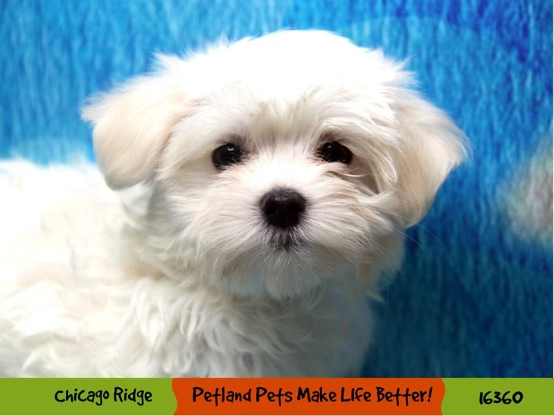Maltese-Female-White-3220417-Petland Chicago Ridge