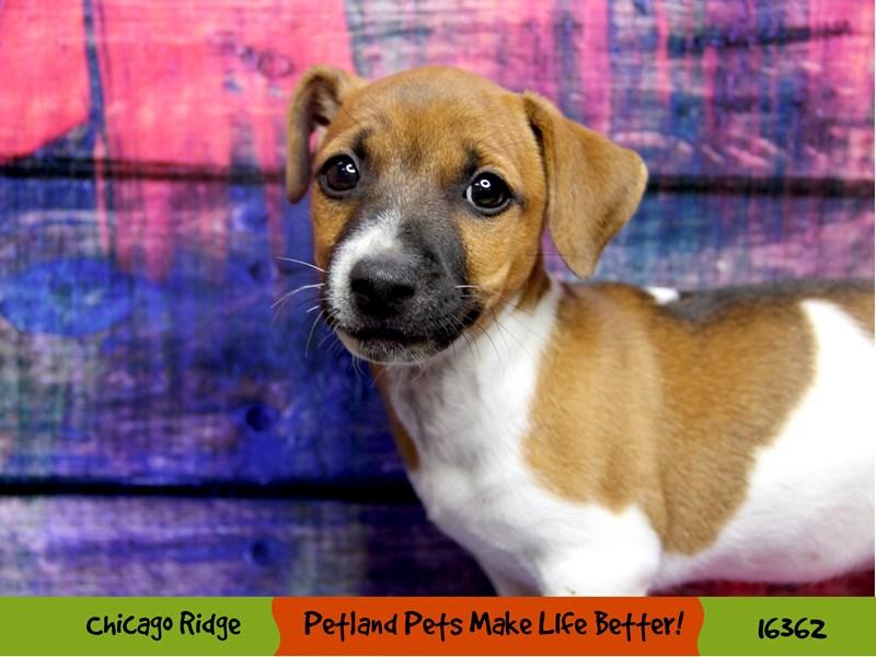 Jack Russell Terrier-Female-Brown / White-3220416-Petland Chicago Ridge