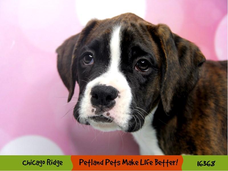 Boxer-Male-Brindle-3223030-Petland Chicago Ridge