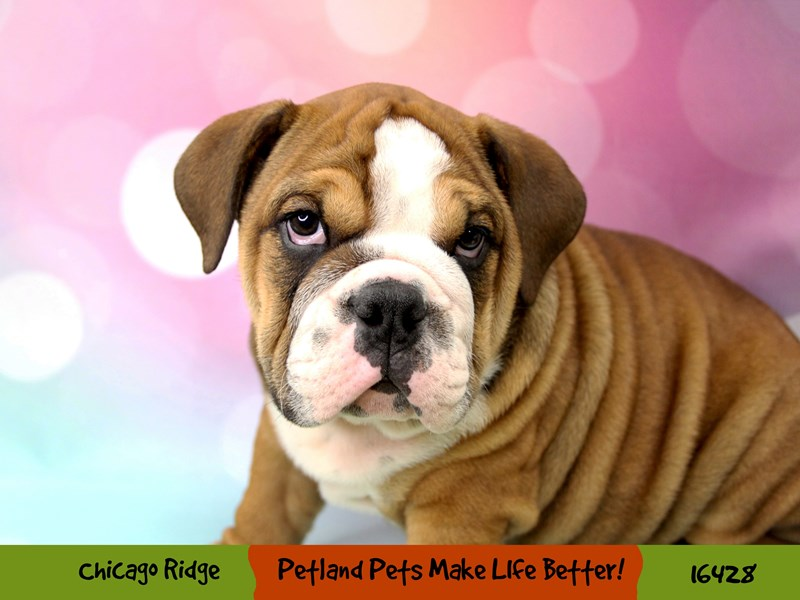 English Bulldog-Male-Fawn / White-3261371-Petland Chicago Ridge