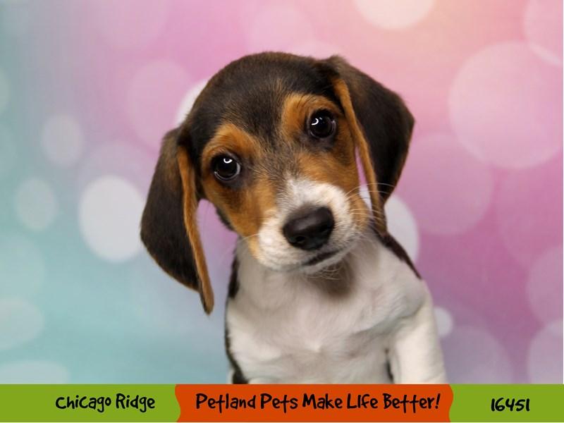 Beagle-Male-Black White / Tan-3270891-Petland Chicago Ridge