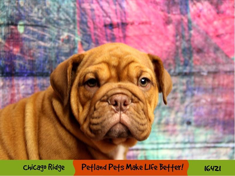English Bulldog-Female-Fawn-3249318-Petland Chicago Ridge