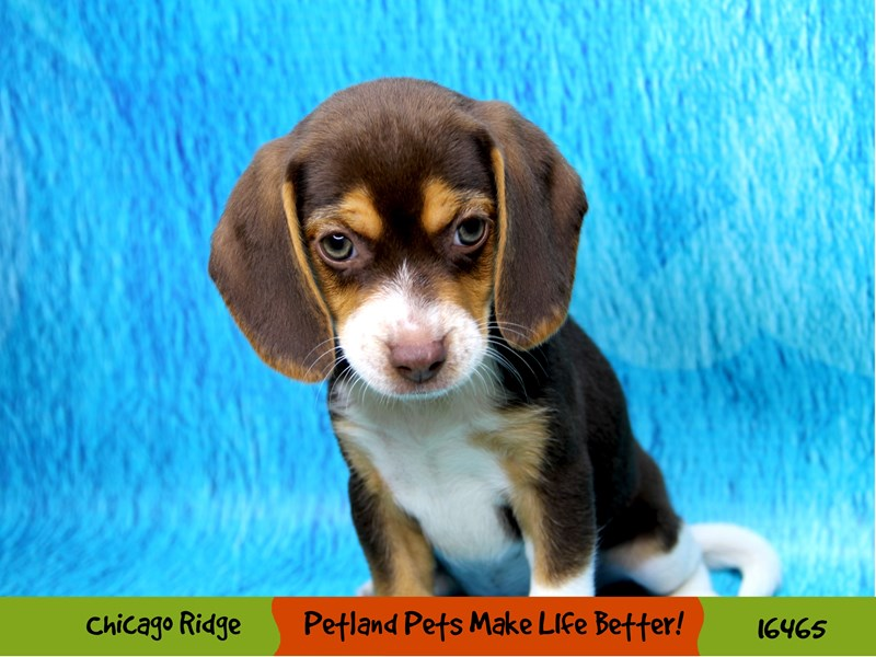 Beagle-Female-Chocolate White Tan-3279346-Petland Chicago Ridge