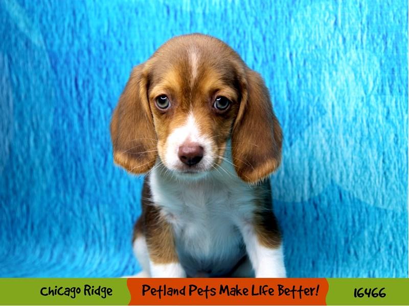 Beagle-Male-Chocolate White Tan-3279347-Petland Chicago Ridge