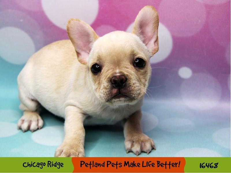 French Bulldog-Female-Cream-3279339-Petland Chicago Ridge