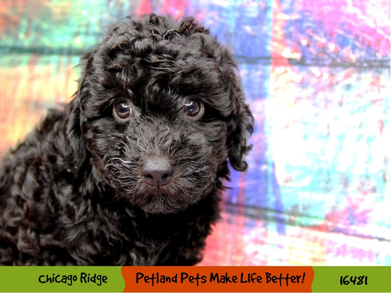 Poodle-Female-Black-3286774-Petland Chicago Ridge