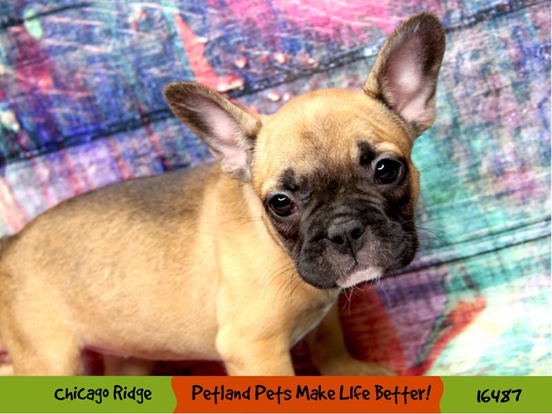 French Bulldog-Female--3286970-Petland Chicago Ridge