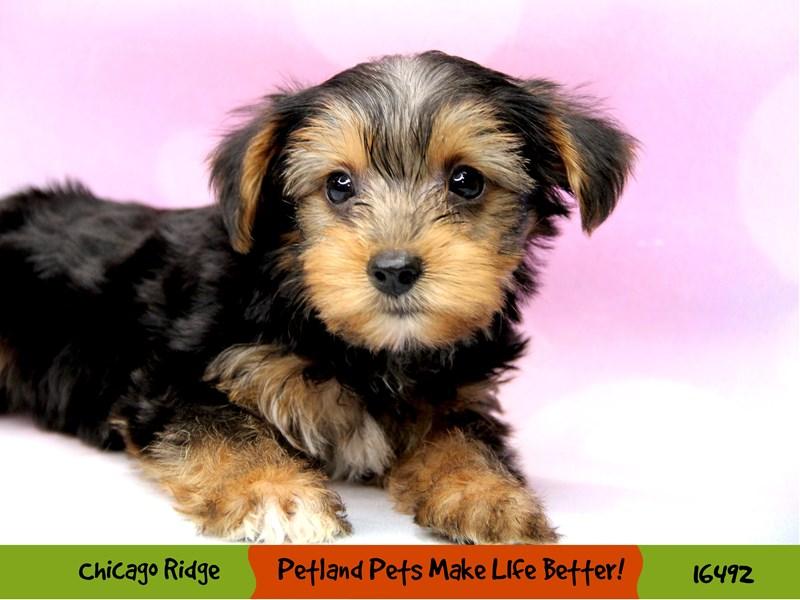 Yorkshire Terrier-Male-Black / Tan-3288909-Petland Chicago Ridge