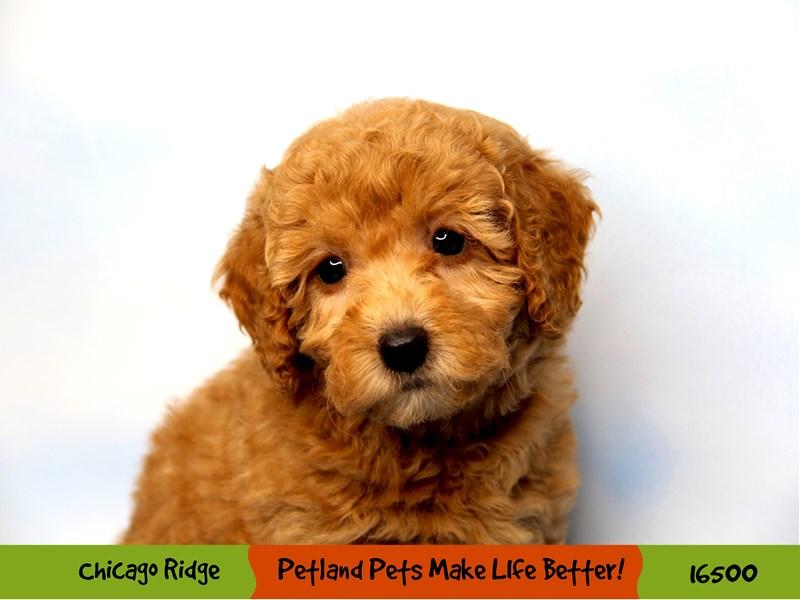 Poodle-Female-Red-3294795-Petland Chicago Ridge